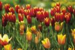 Thumbnail Colourful field of tulips Tulipa