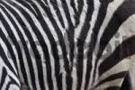 Thumbnail Fur detail, Zebra stripes Equus quagga