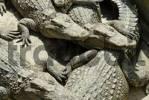 Thumbnail Siam Crocodile, lat. crocodylus siamensis, Vietnam