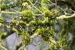 Thumbnail Mosses Bryophyta and Lichens