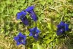 Thumbnail Clusius gentian Gentiana clusii