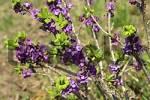 Thumbnail Daphne Daphne mezereum
