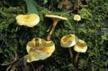 Thumbnail False Chanterelle Hygrophoropsis aurantiaca