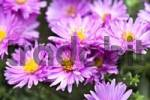 Thumbnail New England Aster Symphyotrichum novae-angliae, Aster novae angliae, pink blossoms