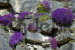 Thumbnail Common Aubrieta Aubrieta deltoidea rock garden Switzerland