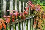 Thumbnail autumnal colored virginia creeper on a garden fence