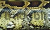 Thumbnail skin of a snake