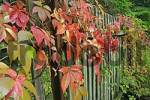 Thumbnail autumnal colored virginia creeper on a garden fence