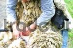 Thumbnail shearing of a sheep with a electrical scissor