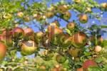 Thumbnail Apples Goldparmäne on the tree