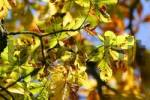 Thumbnail Autumnale colored chestnut leafes shining in the sun