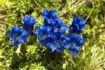 Thumbnail Clusii Gentiana Haute-Savoie France