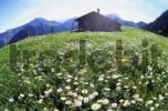 Thumbnail Wiese mit Alpen-Wucherblumen Tanacetum alpinum und alte Berghütte auf der Himmelmoosalm im Mangfallgebirge Deutschland