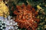 Thumbnail Crown-of-Thorns Sea Star, Starfish Acanthaster planci, Philippines