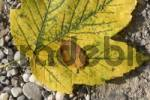 Thumbnail Maple leaf Acer laying on stones