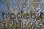 Thumbnail Blossoming hazel shrub Corylus
