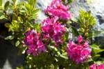 Thumbnail Alpine Rose Rhododendron ferrugineum Chamonix France