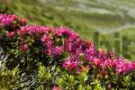 Thumbnail Alpine Rose Rhododendron ferrugineum Chamonix France