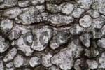 Thumbnail Texture, European Black Pine Pinus nigra bark, Lueerwald Luer Forest, Sauerland, North Rhine-Westphalia, Germany