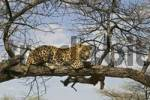 Thumbnail Leopard Panthera pardus laying on a branch in a tree, Namibia, Africa