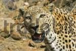 Thumbnail Leopard Panthera pardus, Namibia, Africa