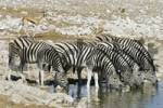 Thumbnail Plains Zebras, Common Zebras or Burchells Zebras Equus quagga drinking from a waterhole, Etosha National Park, Namibia, Africa