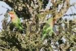 Thumbnail Peach-faced or Rosy-faced Lovebirds Agapornis roseicollis, Kaokoveld, Namibia, Africa