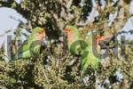 Thumbnail Peach-faced or Rosy-faced Lovebirds Agapornis roseicollis, Kaokoveld, Namibia, Africa
