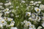 Thumbnail Oxeye Daisies or Marguerites Leucanthemum vulgare