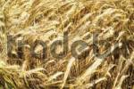 Thumbnail Rye field