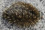 Thumbnail Curled up Short-beaked Echidna or Spiny Anteater Tachyglossus aculeatus, Australia