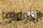 Thumbnail Hermanns Tortoise Testudo hermanni young, one trying to hatch out of its egg