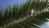 Thumbnail Sun twinkling through a palm frond, leaf