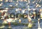 Thumbnail Starting flamingos  Phoenicopterus  - Lake Bogoria - Kenya