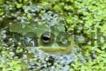 Thumbnail Edible Frog Rana esculenta peeking its head out of the water, Filz, Woergl, Tirol, Austria