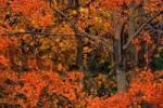 Thumbnail Common Aspen trees Populus tremula, fall foliage, Yellowstone National Park, Wyoming, USA