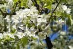 Thumbnail blossoming pear tree