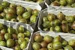 Thumbnail freshly picked gooseberries in baskets