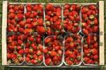 Thumbnail freshly picked organically-grown strawberries in baskets