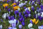 Thumbnail Blossoming Crocuses in spring