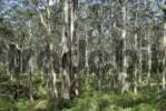 Thumbnail Karri trees Eucalyptus diversicolor, Boranup Forest, Leeuwin-Naturaliste National Park, Western Australia, Australia