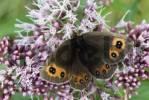 Thumbnail Scotch Argus butterfly Erebia aethiops, Kaisertal, Tirol, Austria