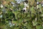 Thumbnail Tree Lungwort or Lung Lichen Lobaria pulmonaria, Grosser Ahornboden, Karwendel Range, Tirol, Austria