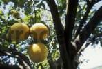 Thumbnail Three lemons hanging from a lemon tree Citrus  limon, Sicily, Italy