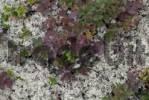 Thumbnail Alpine Reindeer Lichen Cladonia stellaris