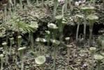 Thumbnail Cup Lichen Cladonia fimbriata, Schwaz, Tirol, Austria