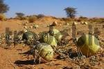 Thumbnail Colocynth Bitter apple Wild gourd Gall Citrullus colocynthis desert region North Africa