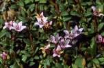 Thumbnail Alpine - or Trailing Azalea Loiseleuria procumbens, Ericacea family