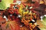 Thumbnail Firethorn berries Pyracantha with colourful autumn leaves