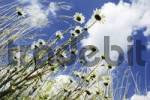 Thumbnail Marguerites or Oxeye Daisies Leucanthemum vulgare against a blue sky with clouds, worms-eye view